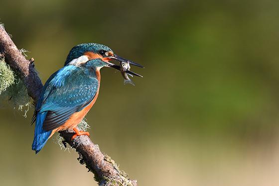 Kingfisher 560